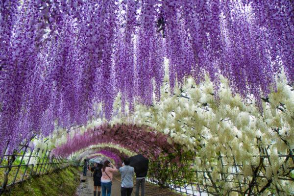 Цветение глициний в Японии