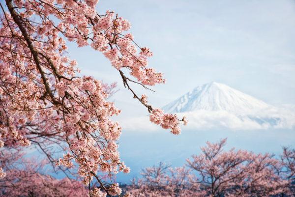 Цветение сакуры на фоне горы Фудзи